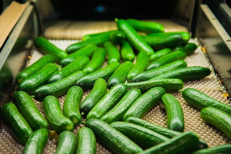 Nya gurkor på grönsaken som bearbetar fabriken royaltyfria foton