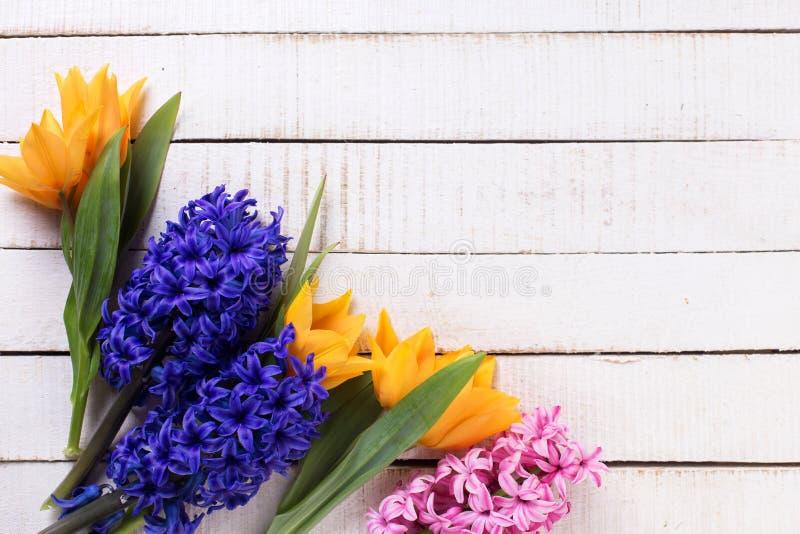 Nya hyacinter för för för vårgulingtulpan, blått och rosa färger blommar nolla royaltyfri foto