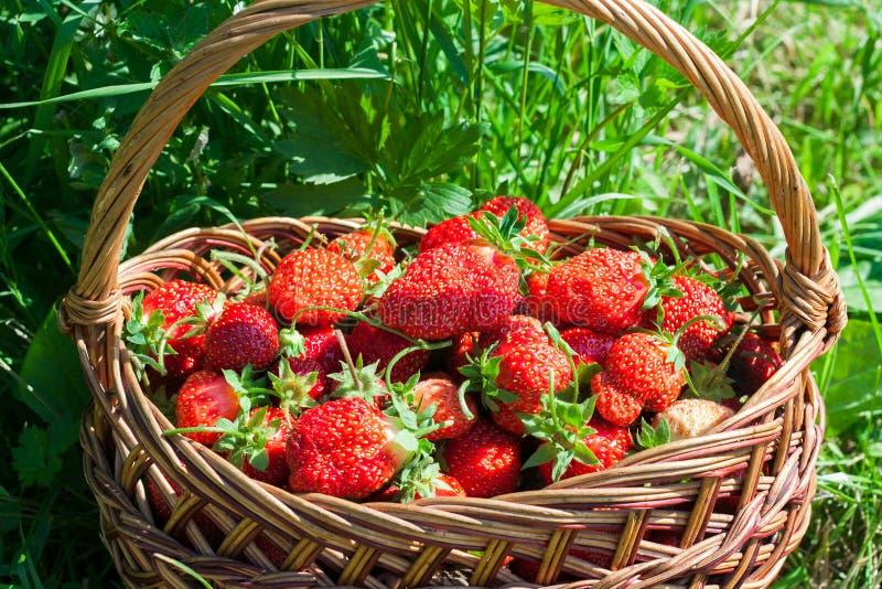 Nya jordgubbar i en vide- korg Sk?rd arkivbilder
