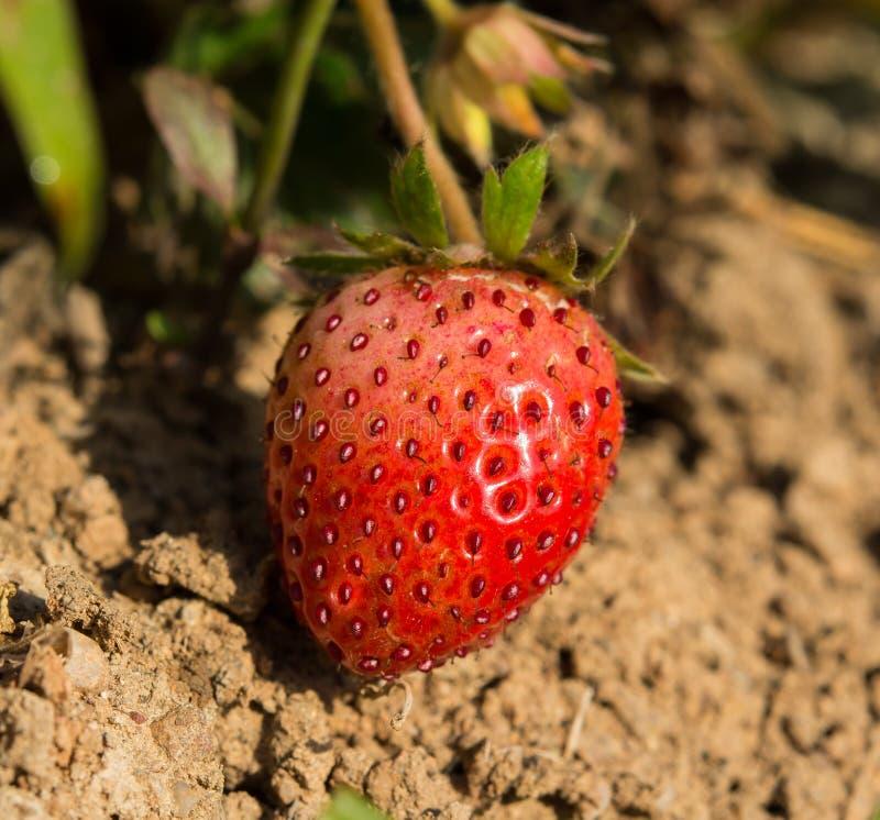 Nya jordgubbar på jordningen, arkivbild