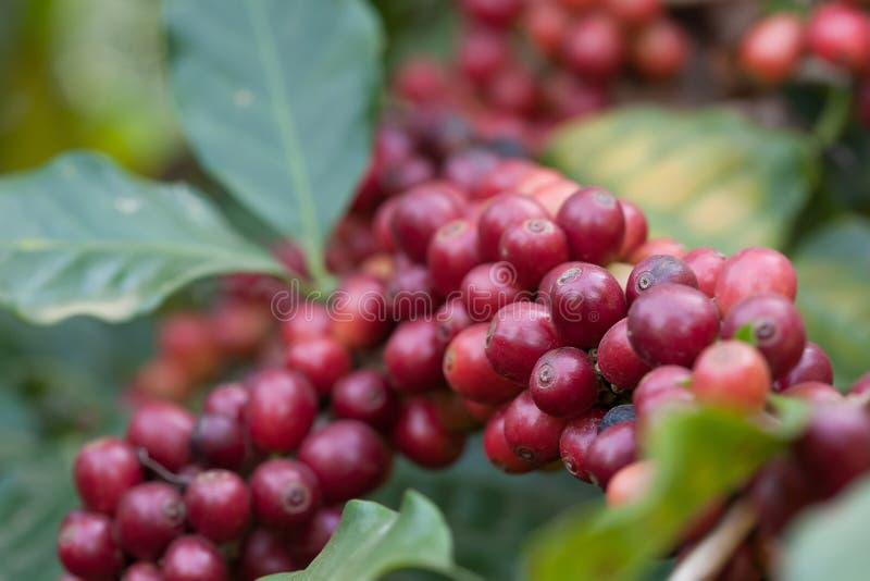 Nya kaffebönor för Closeup på trädjordbruk arkivfoto