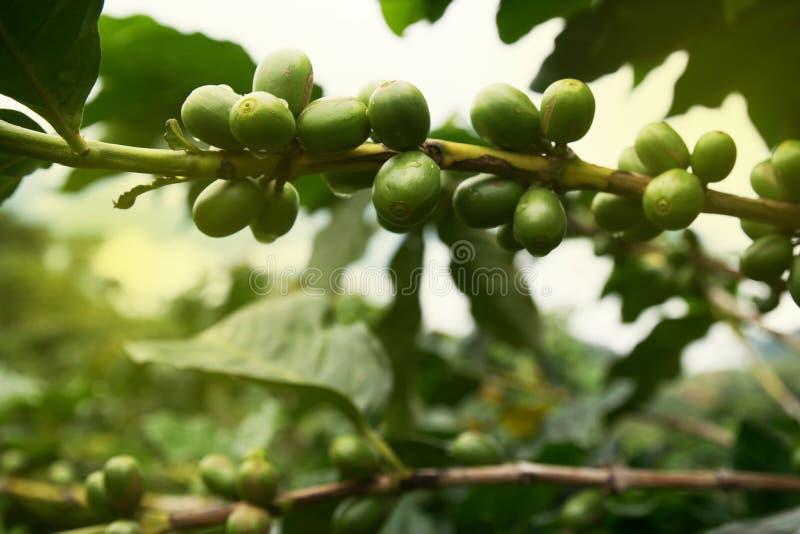 Nya kaffebönor i lantgården royaltyfri bild