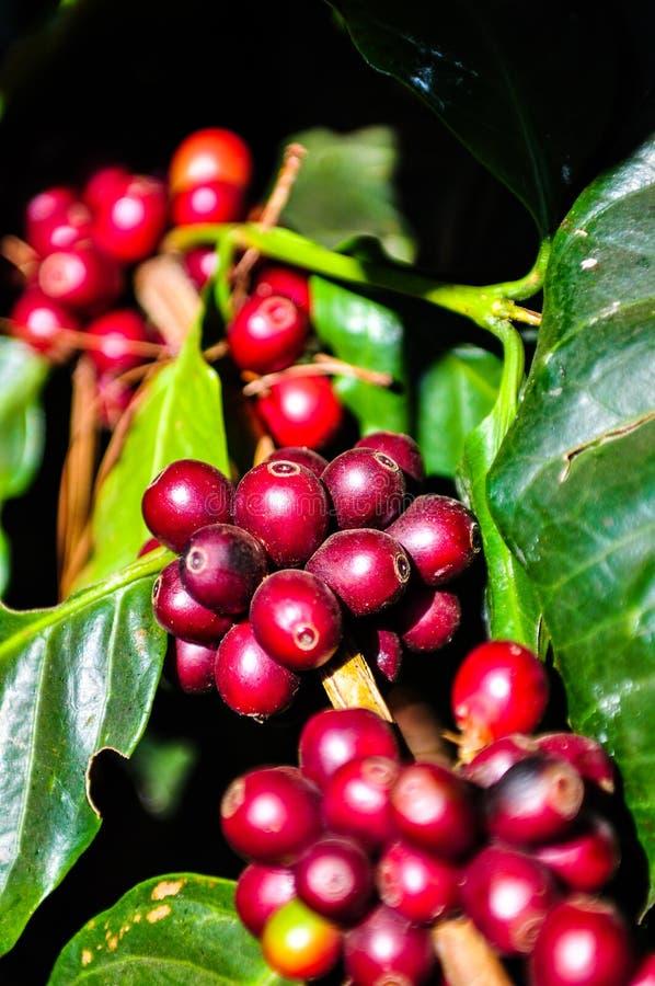 Nya kaffebönor på träd royaltyfri foto