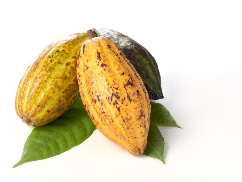 Nya kakaofrukter med det gr?na bladet royaltyfria bilder