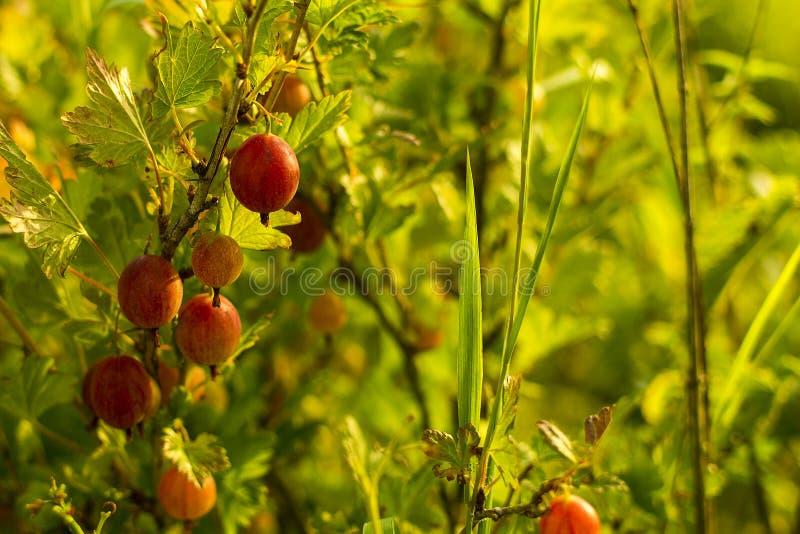 Nya krusbär på en filial av krusbärbusken med solljus arkivfoto