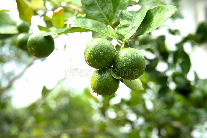 Nya limefrukter eller grön citron på linden arkivbilder
