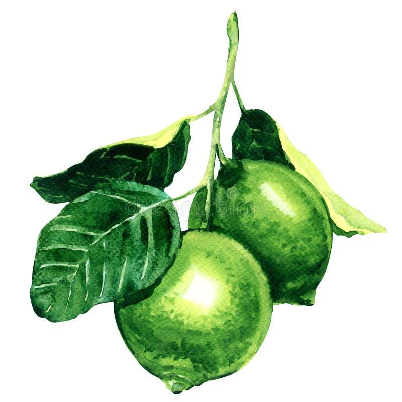 Nya limefrukter på den isolerade filialen, vattenfärgillustration vektor illustrationer