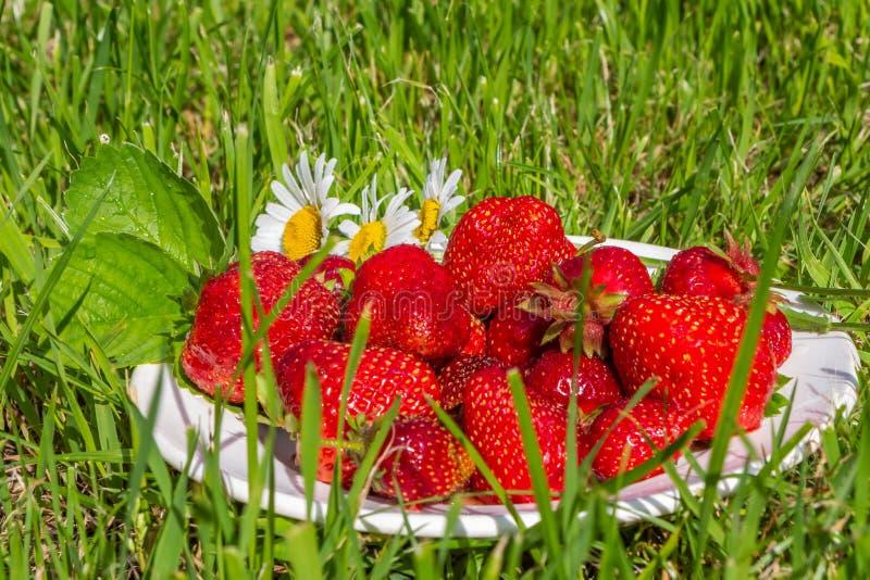 Nya ljusa röda jordgubbebär är på en vit platta i det gröna gräset royaltyfri foto