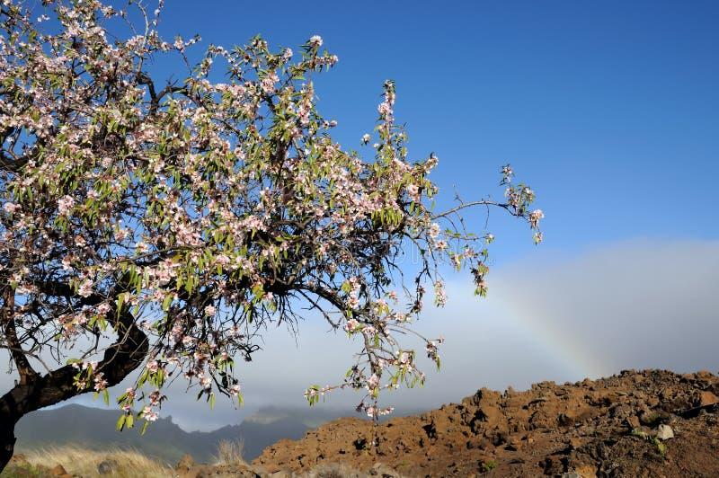 Nya mandelblommor och blå himmel arkivbild