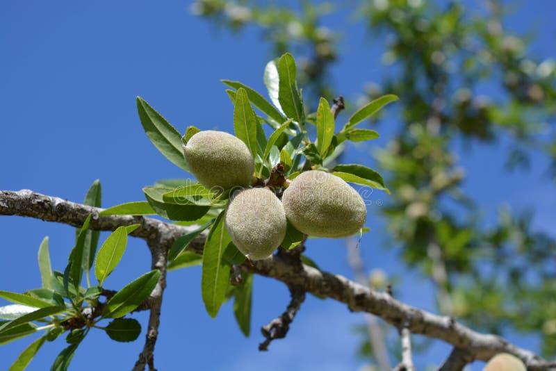 Nya mandlar som växer på träd arkivfoto
