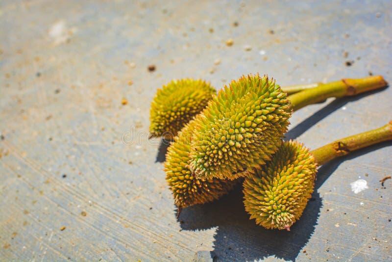 Nya Mini Durian på jordning Konung av frukter Tropiska friuts arkivfoton