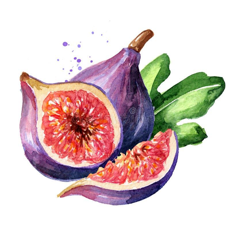 Nya mogna purpurfärgade fikonträdfrukt och skivor med bladet Dragen illustration f?r vattenf?rg som hand isoleras p? vit bakgrund arkivfoton