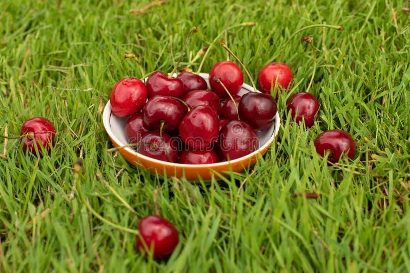 Nya mogna röda söta körsbär i en platta på grönt gräs Söta körsbärsröda frukter i en trädgård i sommartid raindrops Makro arkivfoto