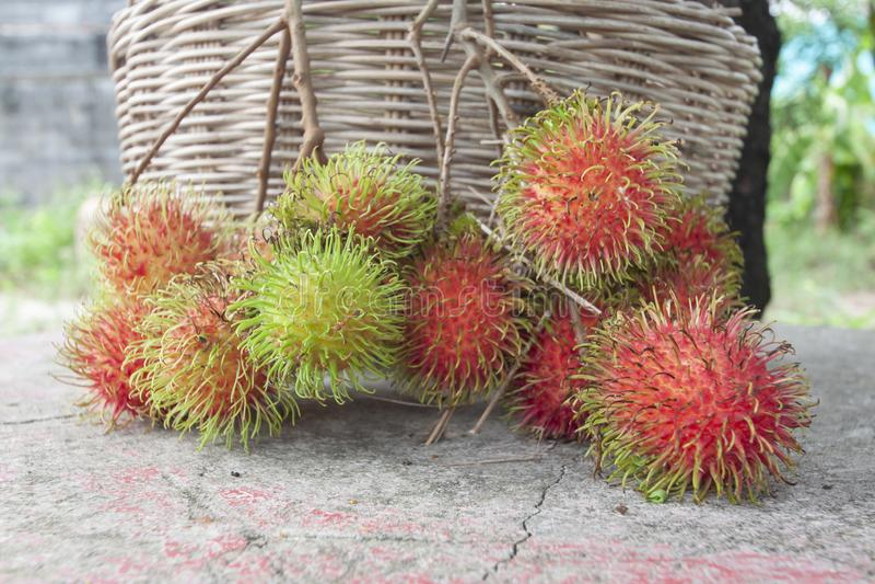 Nya mogna rambutanfrukter i trädgården har en läcker söt smak royaltyfria bilder