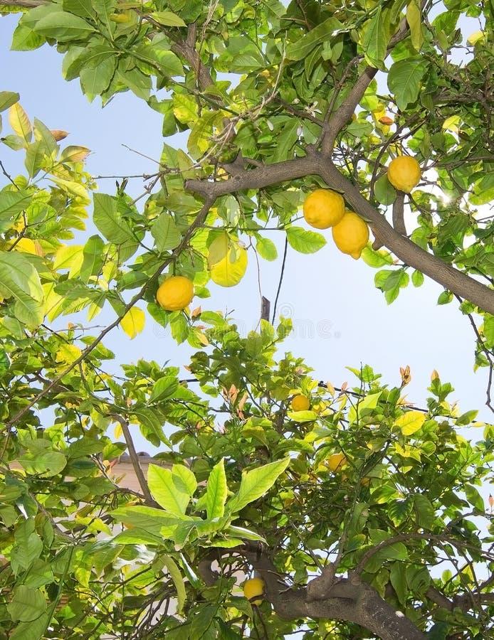 Nya mognande citroner och blommor arkivfoto
