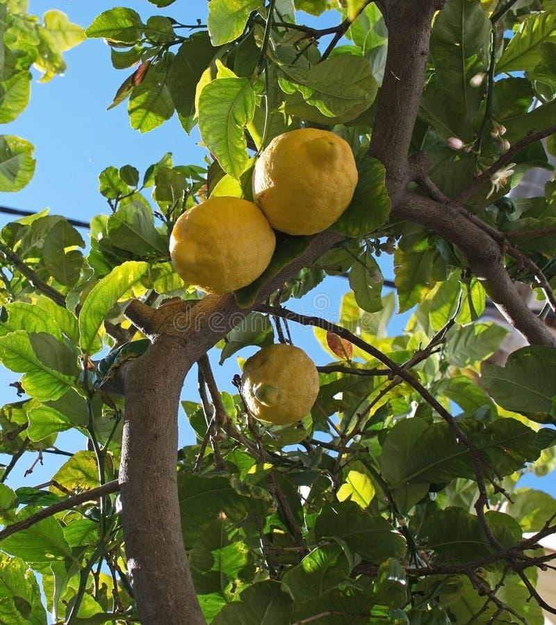 Nya mognande citroner och blommor arkivbild