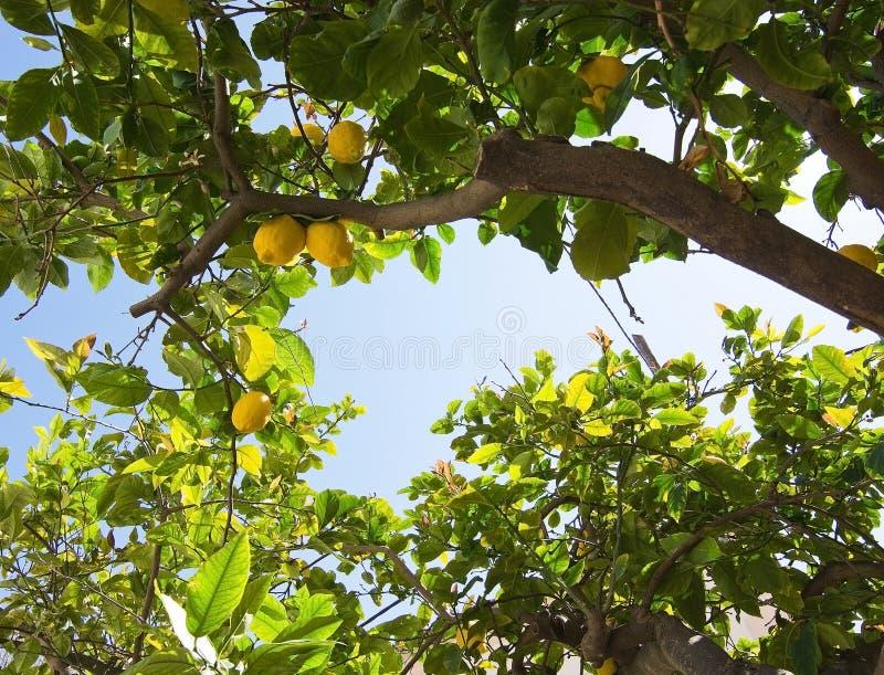 Nya mognande citroner och blommor royaltyfri bild