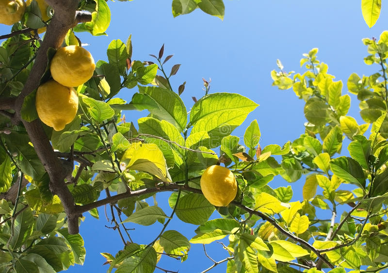 Nya mognande citroner och blommor fotografering för bildbyråer
