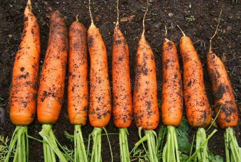 nya morötter arkivbild