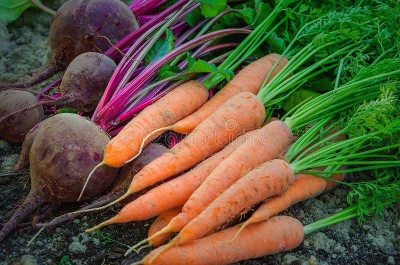 Nya morötter och beta ligga på jordningen i fältet Nytt grönsaker som skördas från hemträdgården arkivbilder