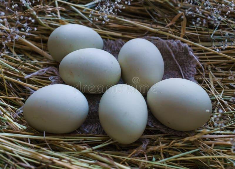 Nya naturliga lantliga vita fega ägg på en kull av hö arkivbilder