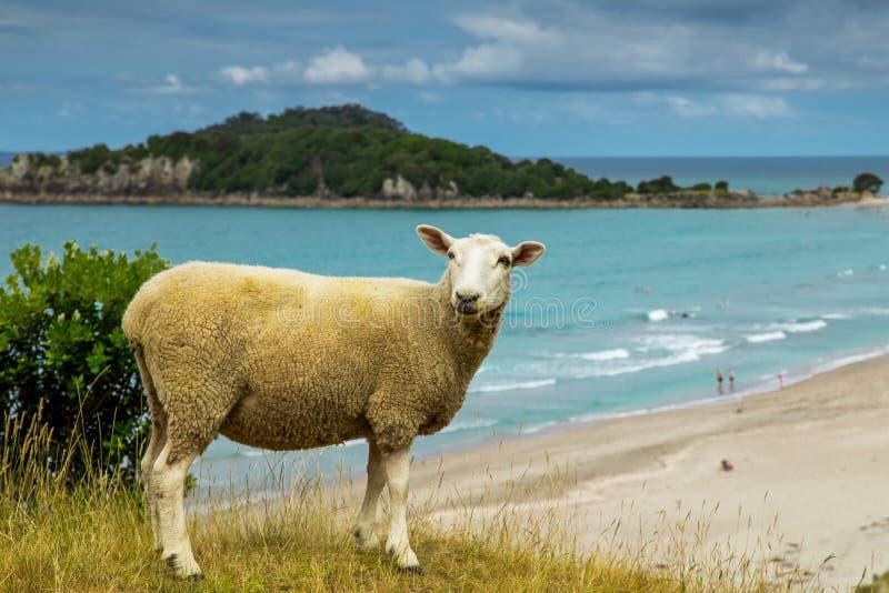 Nya nyazeeländska får stranden i monteringen Maunganui royaltyfria bilder