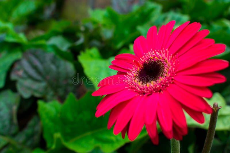 Nya och härliga röda Daisy Isolated On Its Green lämnar bakgrund Inföding till tropiska regioner av Sydamerika, Afrika och Asi arkivfoton
