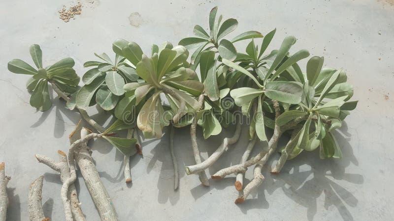 Nya och sunda adeniumväxtklipp som är klara för att plantera arkivbild