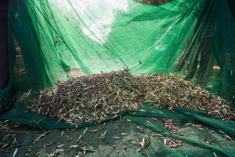 Nya oliv som skördar från agronomer i ett fält av olivträd för extra jungfrulig olivoljaproduktion royaltyfri foto