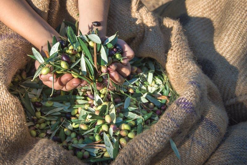 Nya oliv som skördar från agronomer i ett fält av olivträd för extra jungfrulig olivoljaproduktion arkivfoton