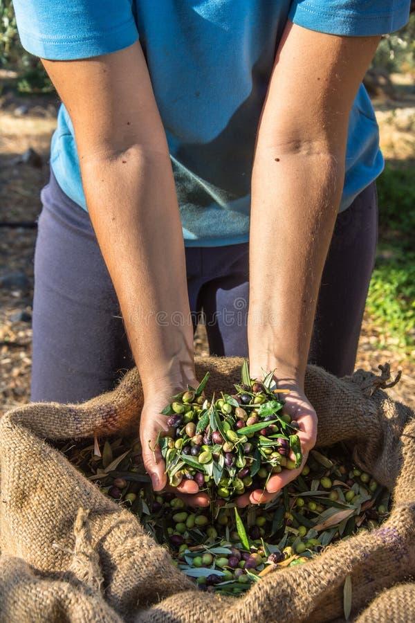 Nya oliv som skördar från agronomer i ett fält av olivträd för extra jungfrulig olivoljaproduktion fotografering för bildbyråer
