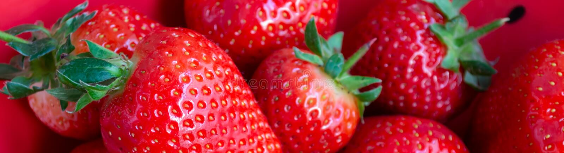 Nya organiska jordgubbar i röd bunkebakgrund royaltyfri foto