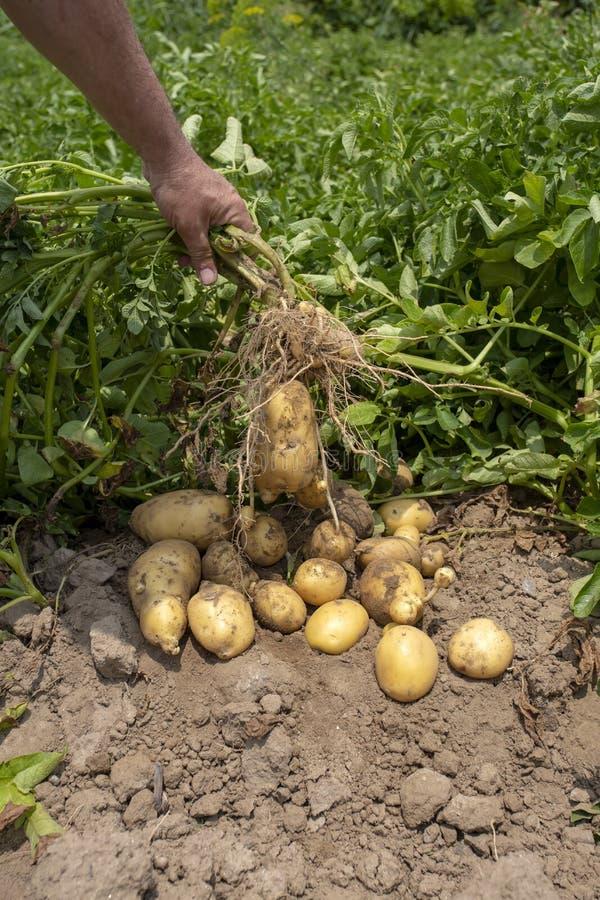 nya organiska potatisar i f?ltet ?kerbrukt begreppsfoto royaltyfri bild