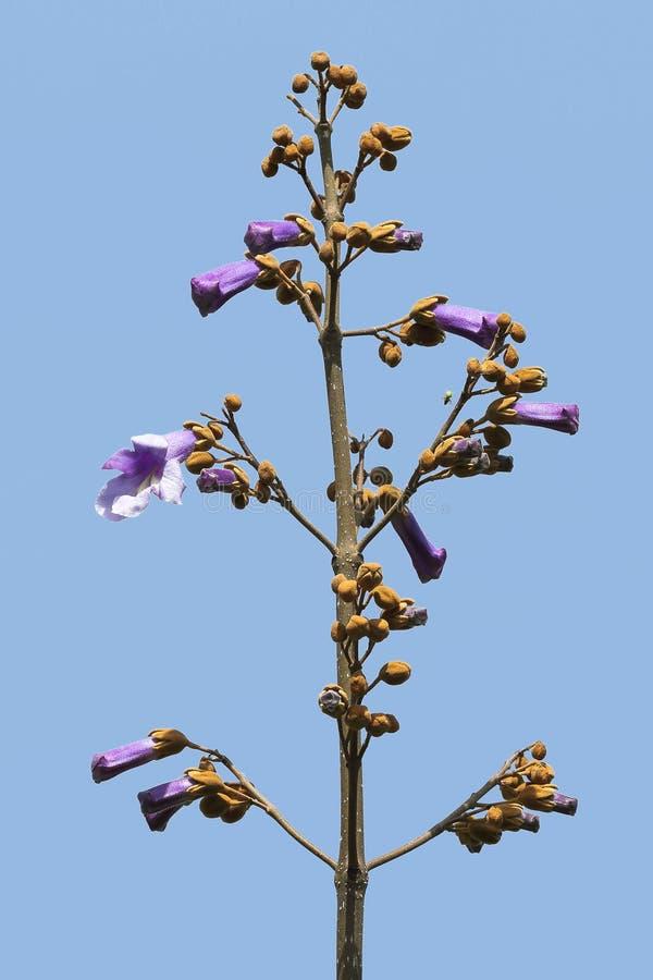 Nya Paulowniablommor på trädfilialen mot en blå himmel royaltyfria foton