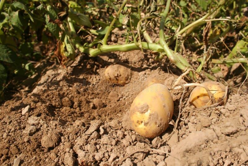nya potatisar royaltyfria bilder