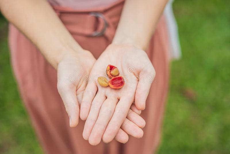 Nya röda bärkaffebönor i kvinnahand royaltyfri foto