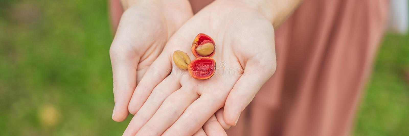 Nya röda bärkaffebönor i kvinnahandBANRET, LÅNGT FORMAT royaltyfria foton