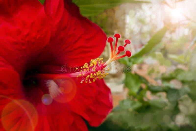Nya röda hibiskusblommor i varmt ljus med suddighetsbakgrund fotografering för bildbyråer