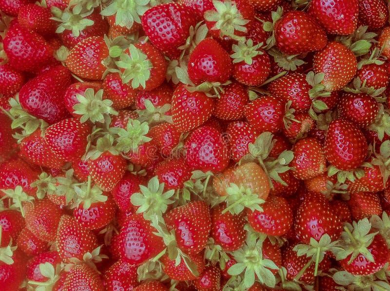 nya röda jordgubbar för grupp royaltyfri foto
