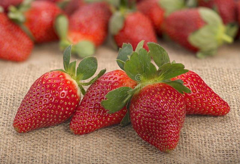 Nya röda mogna jordgubbar som är ordnade på säckvävsäcken arkivbild