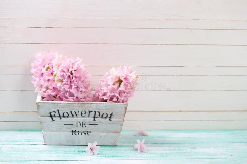 Nya rosa hyacinter blommar i träask royaltyfri fotografi
