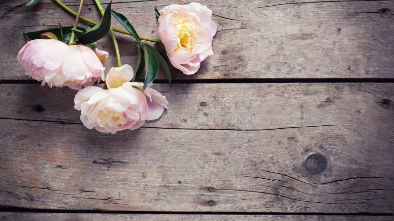 Nya rosa pioner blommar på åldrig träbakgrund Lekmanna- lägenhet royaltyfri fotografi