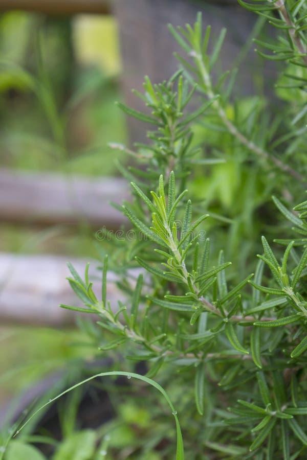 nya rosmarinar. Färska organiska aromämnen Rosemära växter arkivbild