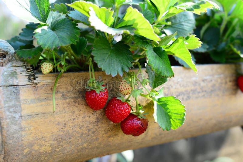 Nya söta jordgubbefrukter glöder i bamburöret arkivbilder