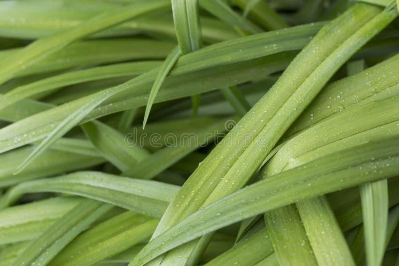 Nya saftiga gröna sidor av växten Lång sidanärbild mot bakgrund field bl?a oklarheter f?r gr?n vitt wispy natursky f?r gr?s Safti royaltyfria bilder
