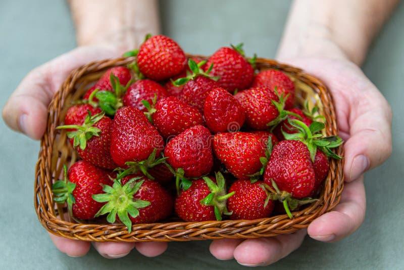 Nya, saftiga l?ckra jordgubbar i korgh?llm?nnens h?nder arkivbild