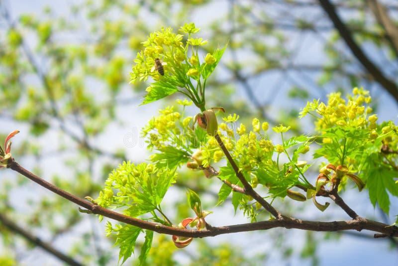 Nya saftiga ljusa sidor på tunna filialer av unga träd royaltyfri foto