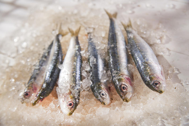 nya sardines royaltyfri foto