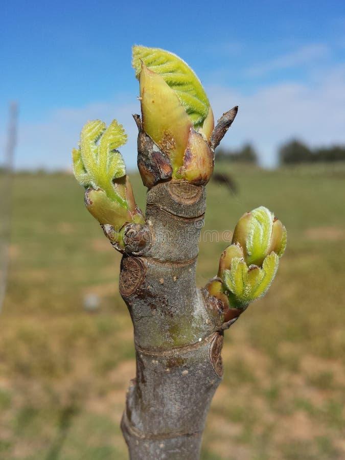 Nya sidor för närbildfikonträd arkivbilder