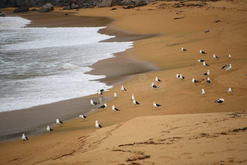 Nya Själland härliga svarta drog tillbaka fiskmåsar på en guld- strand royaltyfri bild